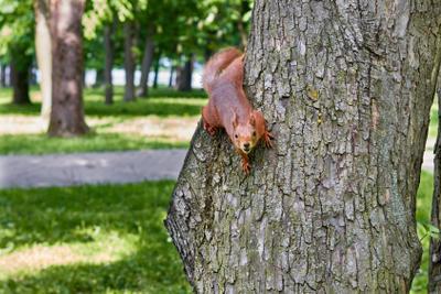 *** Белка парк дерево