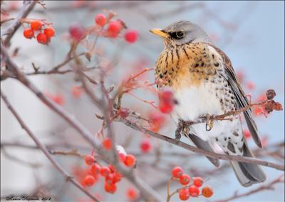 *** wildlife, птица, дрозд рябинник, зима, рябина