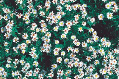 Мелколепестник цвет цветы canon природа