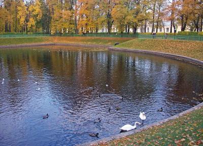 В городском пруду ... осень Летний сад пруд лебеди утки чайки отражения листва