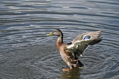 На взлет!.. утка взлет природа птицы река вода крылья