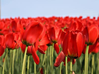 роща цветы, тюльпаны