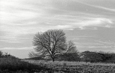 В дюнах дерево