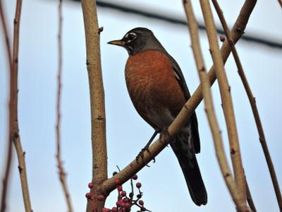 Странствующий дрозд (American Robin) дрозд