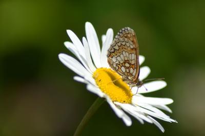 Вечерело Ромашка бабочка