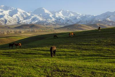 Наконец-то можно пожевать свежую травку) горы лошади весна Киргизия