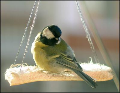 Качели для пернатых друзей Синицы птицы зима сало качели