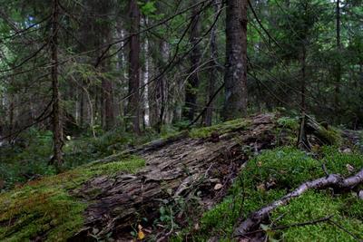 Владения Михайло Потапыча Тайга медведь Мордовия природа лес если