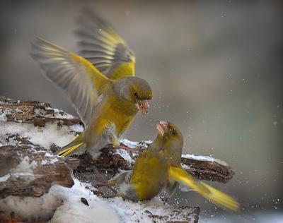 *** dzwońce ptaki
