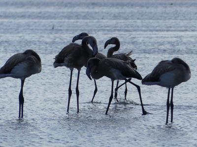 Фламинго в Астане. Астана Малый Талдыколь