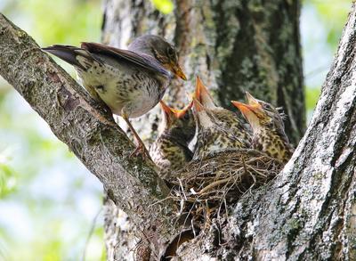 голодные глотки птицы дрозды птенцы весна