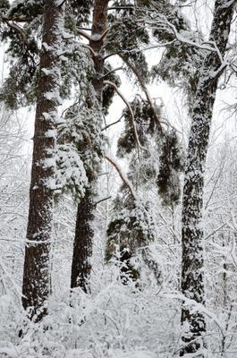 *** сосны снег