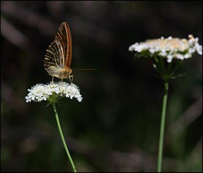 Много еды макро бабочка цветок цветы синеморец болгария