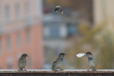 Дорогая, тебе подарок! птицы воробьи воробей город перо