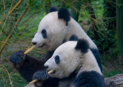 Сладкая парочка панда