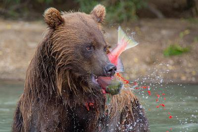 Завтрак по-Камчатски Камчатка медведь животные природа путешествие фототур икра