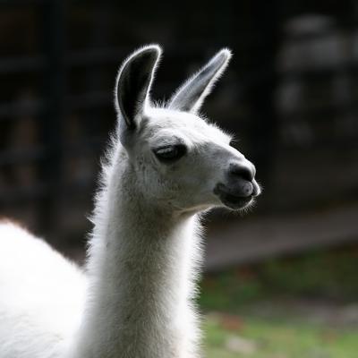 Лама Калининград, зоопарк, лето, лама. животные