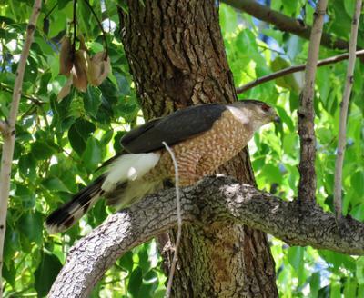 Сокол Сапсан сокол сапсан хищная птица peregrine falcon duck hawk bird of prey raptor falco peregrinus