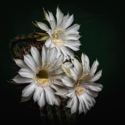Любимая колючка! цветы макро