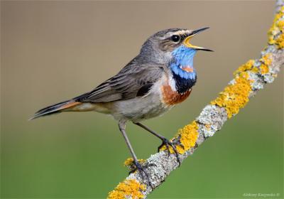 *** птица варакушка самец фотоохота wildlife