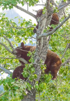 Медвежья сиеста Медведи отдых Альберта Waterton Alberta