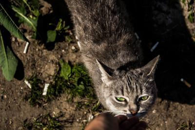 Боровский котик