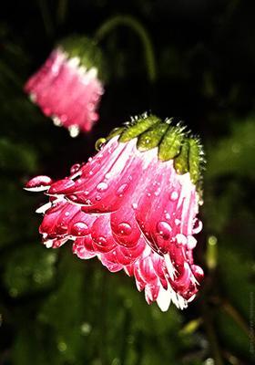 Маргаритка. После дождя. цветок дождь вечер маргаритка