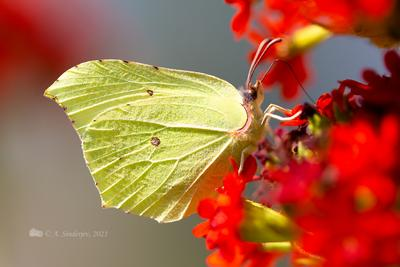 Бабочка лимонница бабочка макро насекомое лето