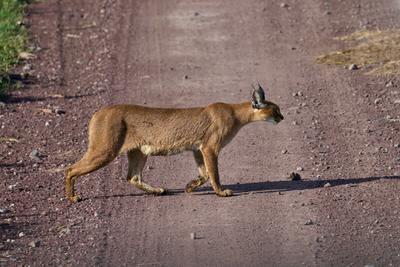 Каракал Танзания Нгоронгоро Африка природа животные кошки каракалы