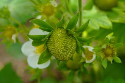 клубника клубника фрукты цветы природа макро белый зеленый