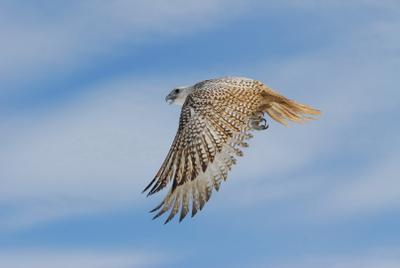 свободный полет Кречет, сокол, полет, птица
