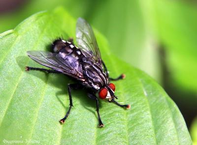 муха Саркофага карнария - серая мясная муха