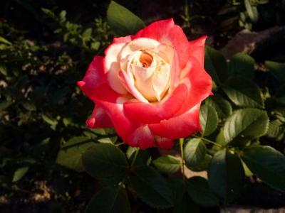 Розочка Роза лето солнце природа