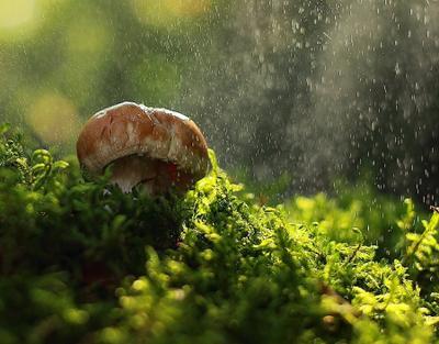 Кулачок грибы