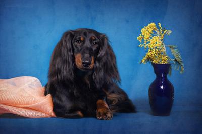 ***ПАНОЧКА С ВИШНЕВОЙ РОЩИ. Собака Такса Животные Чемпион Выставки