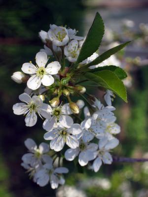 Вишня цветёт вишня цветение весна