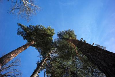 Путь к небу. деревья лес небо
