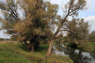 Истра. Осень - 2 деревья ивы истра осень пейзаж подмосковье природа река