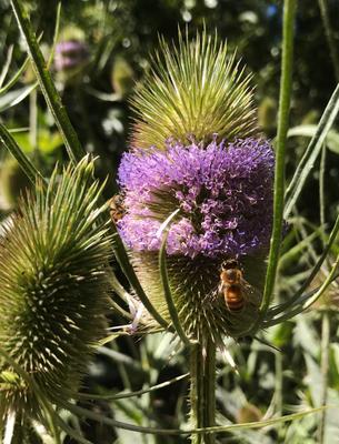 *** пчела насекомое растение цветок репей репейник bee insect flower plant thistle