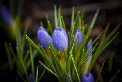 Пробуждение... цветы крокус краски растение зеленый красота природа