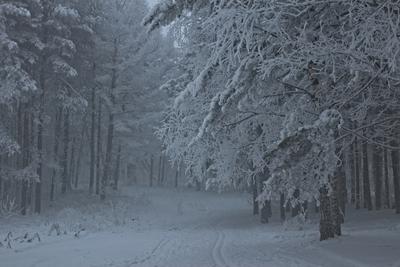 иду в таинственный туман... зима березовая роща утро туман мороз иней