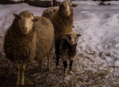 бабушка, мать и сын овцы бараны
