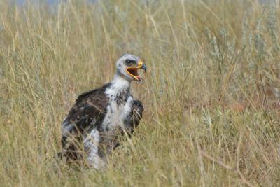 Первая прогулка. лето степь гнездо степного орла