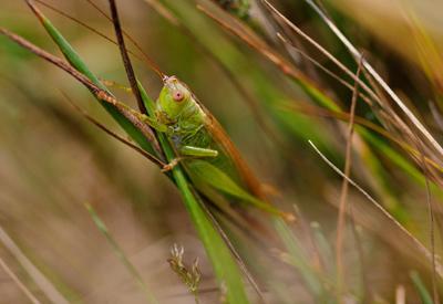 В траве сидел кузнечик насекомые иакро трава кузнечик зеленый природа
