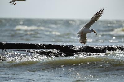 Клюёт море чайка волна