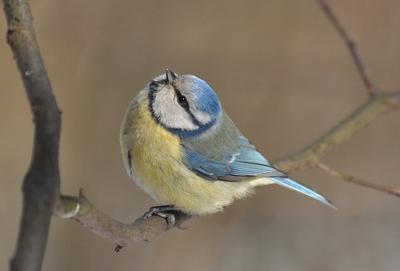 *** Nikon природа птицы лазоревка