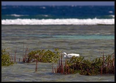 Рыбалка в мангровых зарослях Рифовая цапля, мангровые заросли, море