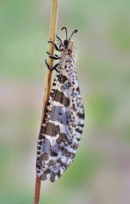 Palpares geniculatus Palpares geniculatus
