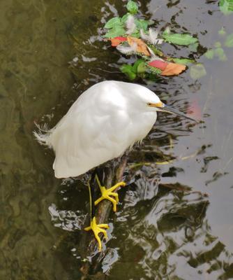 Белая американская цапля белая американская цапля птица snowy egret white heron egretta thula bird