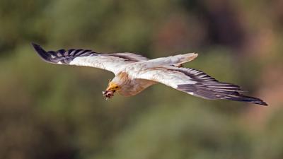 А птичке где-то бог послал кусочек мяса стервятник neophron полёт